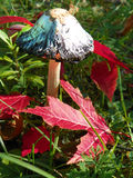 Cogumelo de Shaggy Mane & x28; Comatus& x29 do Coprinus; entre as folhas vermelhas da queda fotografia de stock