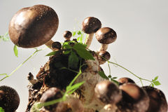 Cogumelo de Shiitake e folhas jiaogulan. Fotos de Stock