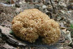 Cogumelo de Sparassis Fotografia de Stock Royalty Free