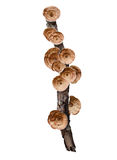 Cogumelo de suspensão no ramo de árvore seco isolado no fundo branco foto de stock