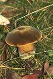 Cogumelo de veludo Fotos de Stock Royalty Free
