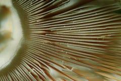 Cogumelo do agaric da textura Fotografia de Stock