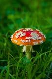 Cogumelo do agaric de mosca Imagens de Stock