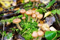 Cogumelo do agaric do mel Foto de Stock Royalty Free