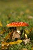 Cogumelo do agaric do Toadstool ou de mosca foto de stock