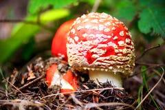 Cogumelo do amanita de mosca Fotografia de Stock Royalty Free