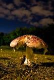 Cogumelo do amanita na noite Imagem de Stock Royalty Free