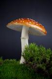 Cogumelo do amanita que cresce no musgo Imagem de Stock