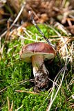 Cogumelo do badius de Xerocomus na grama verde fotografia de stock