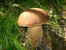 Cogumelo do bolete da baía na grama Imagens de Stock Royalty Free