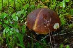 Cogumelo do boleto da floresta do vintage em arbustos do musgo e de mirtilo Imagens de Stock Royalty Free