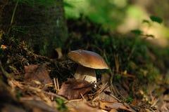 Cogumelo do cepa-de-bordéus Imagens de Stock