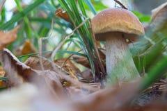 Cogumelo do cepa-de-bordéus na floresta fotografia de stock royalty free