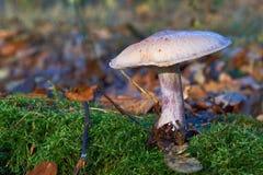 Cogumelo do ganso que cresce no musgo Imagem de Stock Royalty Free