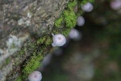 Cogumelo do hypnorum de Galerina Fotos de Stock Royalty Free
