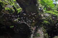 Cogumelo do hypnorum de Galerina Foto de Stock