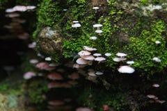 Cogumelo do hypnorum de Galerina Imagem de Stock