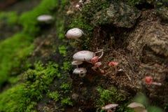 Cogumelo do hypnorum de Galerina Imagem de Stock Royalty Free