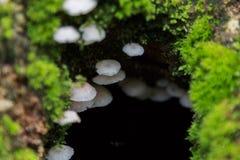 Cogumelo do hypnorum de Galerina Imagens de Stock