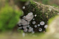 Cogumelo do hypnorum de Galerina Fotos de Stock