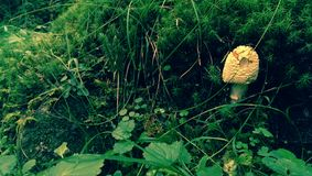 Cogumelo do Morchella Imagem de Stock