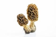 Cogumelo do Morel com close-up pronunciado da textura fotografia de stock