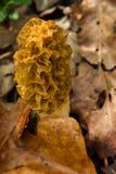 Cogumelo do Morel nas madeiras Foto de Stock