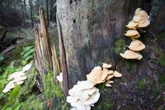 Cogumelo do ostreatus do Pleurotus em uma árvore foto de stock royalty free