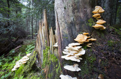 Cogumelo do ostreatus do Pleurotus em uma árvore fotos de stock royalty free