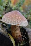 Cogumelo do outono do close-up Foto de Stock