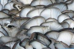 Cogumelo do Pleurotus Fotografia de Stock