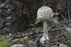 Cogumelo do procera de Macrolepiota Imagem de Stock