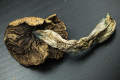 Cogumelo 4 do Psilocybin Imagem de Stock