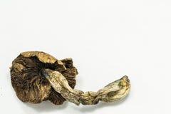 Cogumelo 3 do Psilocybin Foto de Stock