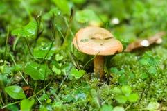 Cogumelo do tampão do leite do Lactarius Deliciosus ou do açafrão Fotografia de Stock