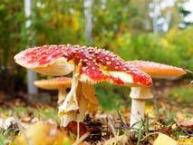 Cogumelo do Toadstool Fotos de Stock