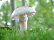 Cogumelo do verna do amanita foto de stock royalty free