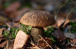 Cogumelo do vidoeiro com um chapéu marrom Foto de Stock Royalty Free