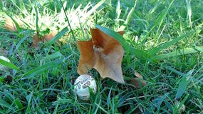 Cogumelo e folha Imagens de Stock