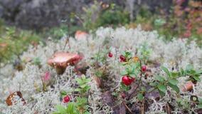 Cogumelo e musgo de rena branco em Autumn Forest Wildlife do norte de Rússia 4K, macro slowmotion vídeos de arquivo