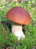 Cogumelo edulis do boleto em um musgo verde Fotografia de Stock