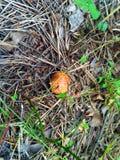 Cogumelo em agulhas do pinho Imagens de Stock Royalty Free