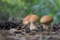 Cogumelo em 3Sudeste Asiático Fotos de Stock