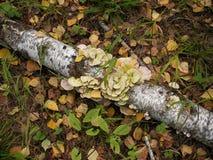 Cogumelo em um vidoeiro Fotografia de Stock