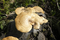 Cogumelo em uma árvore Imagens de Stock Royalty Free