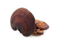 Cogumelo Ganoderma Lucidum de Lingzhi imagem de stock royalty free