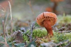 Cogumelo geado no pasto foto de stock royalty free
