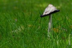 Cogumelo, juba desgrenhado, comatus do Coprinus, direito na grama verde Fotos de Stock