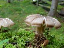 Cogumelo macio de seda Fotografia de Stock