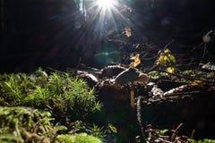 Cogumelo macro pequeno da floresta Imagem de Stock